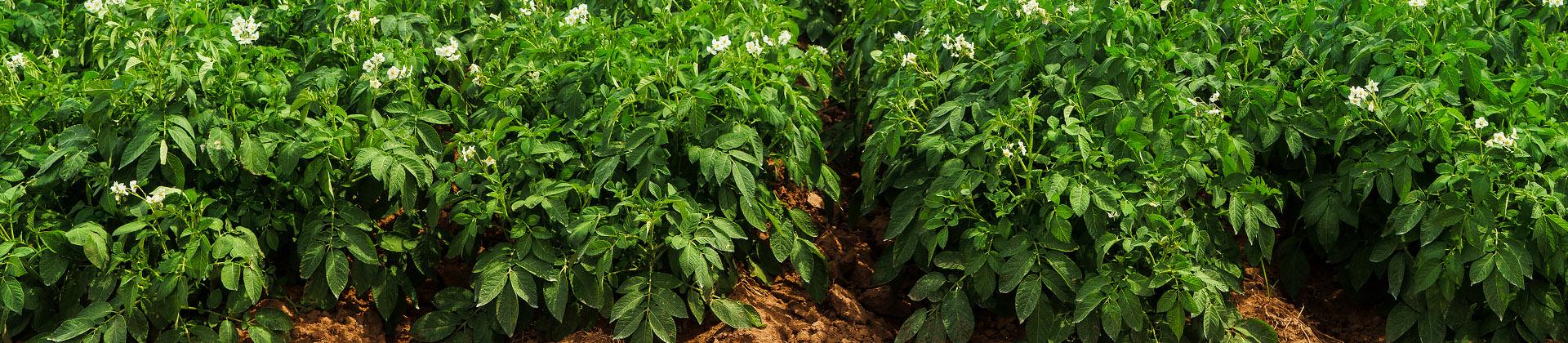 ziemniaki nasiennictwo
